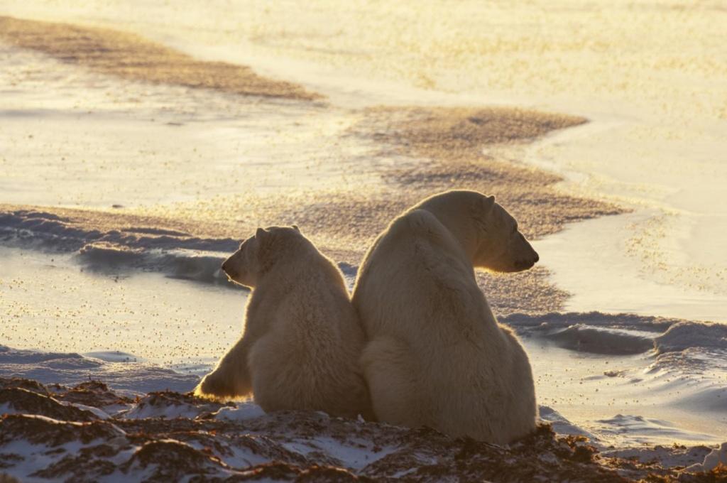 Ours polaires à Churchill au Canada