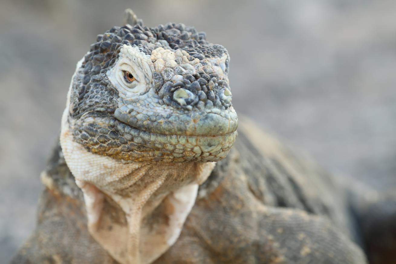 Iguane des îles Galápagos