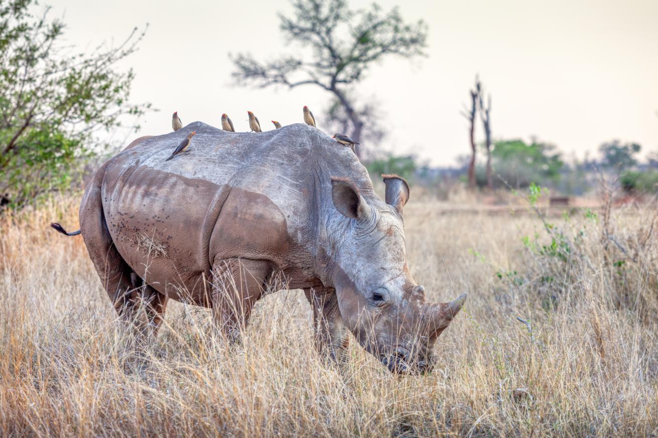 Un rhinocéros blanc dans le parc Kruger