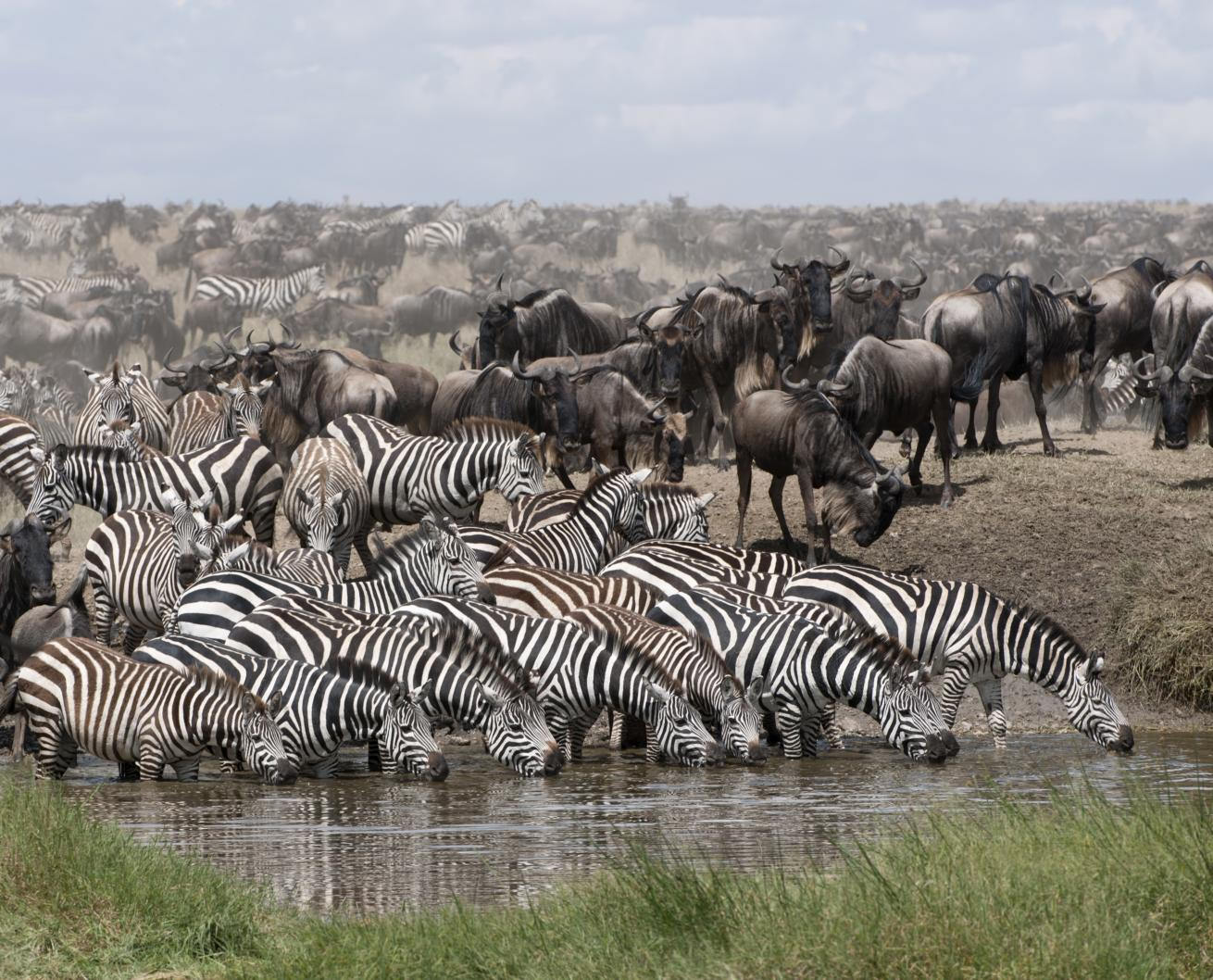 Zèbres et Gnous au parc national de Serengeti Tanzanie