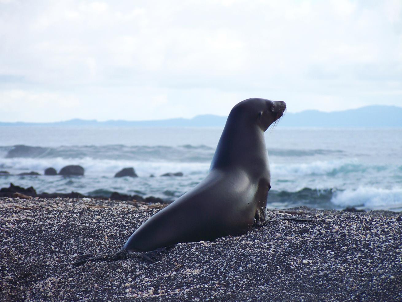 Otarie sur les îles Galápagos