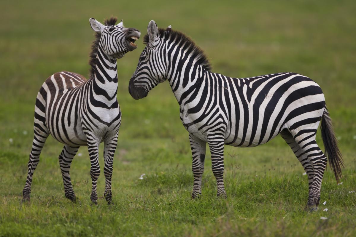 Zèbres des plaines, Zone de conservation de Ngorongoro, Tanzanie