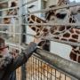 Weekend en famille à la découverte de la girafe !